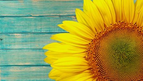 Sunflower on blue wood